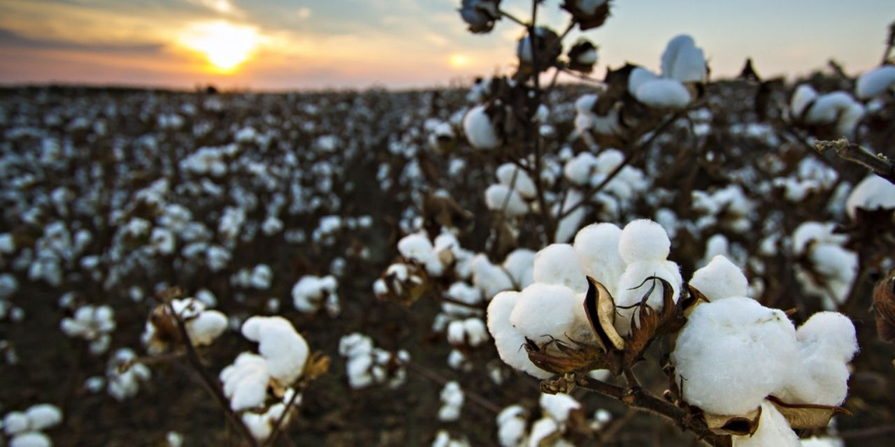 Rise In Egypt's Cotton Pricing